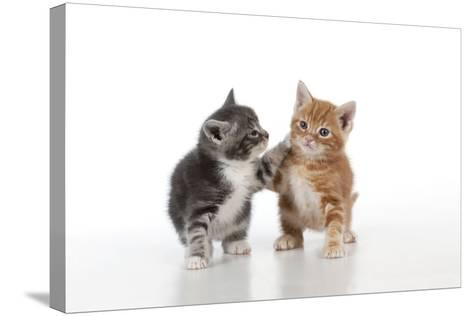 Ginger and Grey Tabby Kittens Playing--Stretched Canvas Print