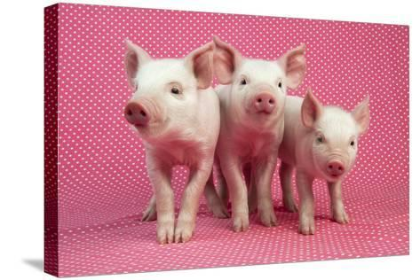 Piglets Standing in a Row on Pink Spotty Blanket--Stretched Canvas Print