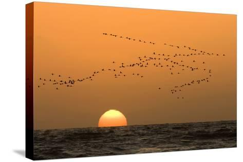 Flamingo Flock in Flight at Sunset over the Atlantic--Stretched Canvas Print