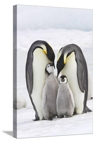 Emperor Penguin, Two Adults with Two Chicks--Stretched Canvas Print