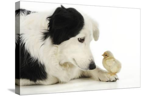 Chick Sitting on Border Collies Paw--Stretched Canvas Print