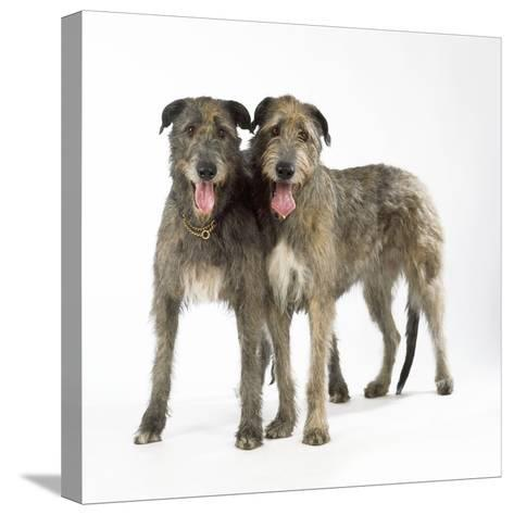 Two Irish Wolfhounds--Stretched Canvas Print