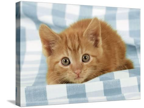 Ginger Kitten on Blue Gingham--Stretched Canvas Print