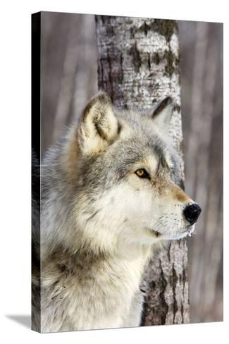 Timber Wolf--Stretched Canvas Print