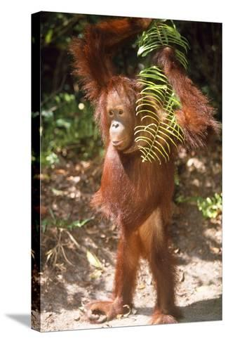 Orang-Utan Plays with Fern--Stretched Canvas Print