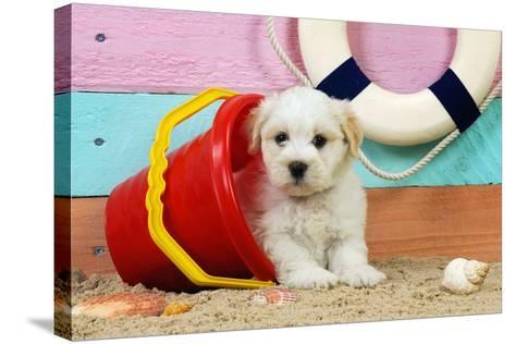 White Teddy Bear Puppy at the Beach in a Bucket--Stretched Canvas Print