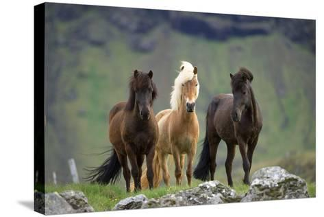 Icelandic Horse Three Standing--Stretched Canvas Print