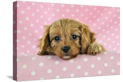 Cockerpoo Puppy--Stretched Canvas Print