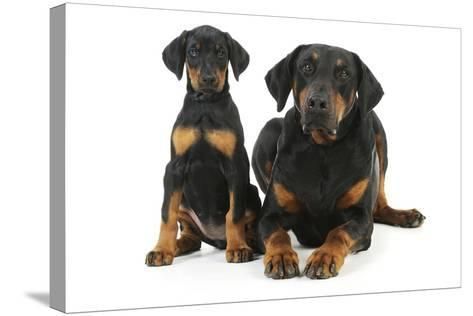 Dobermann Puppy and Adult--Stretched Canvas Print