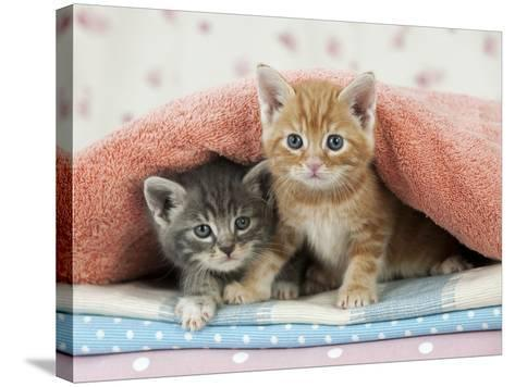 Ginger and Grey Tabby Kittens--Stretched Canvas Print