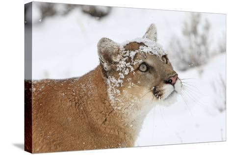Puma in Snow--Stretched Canvas Print