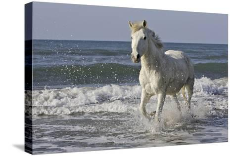 Camargue Horse Running Along the Beach--Stretched Canvas Print