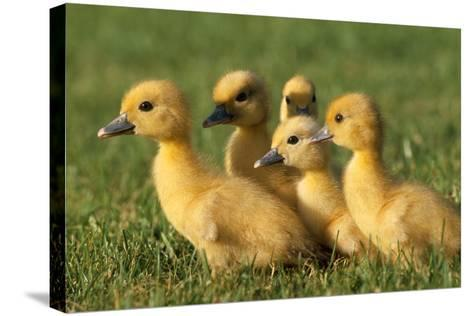 Domestic Ducklings X Five in Grass--Stretched Canvas Print