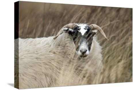 Highland Blackface Sheep--Stretched Canvas Print