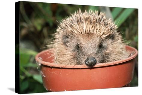 Hedgehog Close-Up in Flower Pot--Stretched Canvas Print