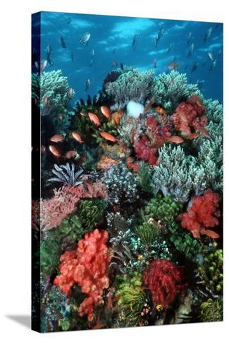 Coral Wall Komodo Marine Park Is World Famous--Stretched Canvas Print