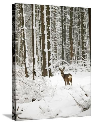 Roe Deer in Snow--Stretched Canvas Print