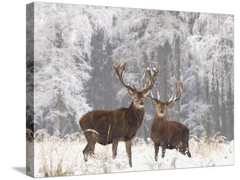 Red Deer Bucks in Snow--Stretched Canvas Print