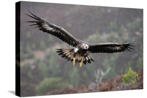 Golden Eagle in Flight--Stretched Canvas Print