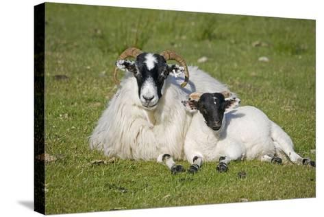 Scottish Black-Faced Ewe and Lamb--Stretched Canvas Print