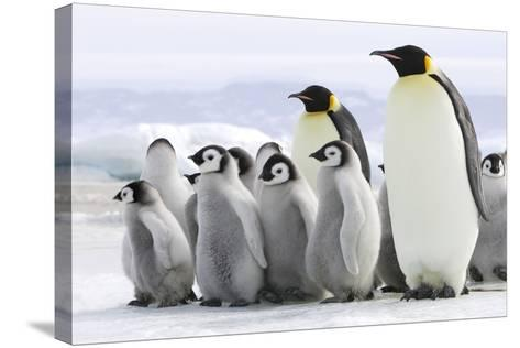Emperor Penguin Adults with Chicks--Stretched Canvas Print