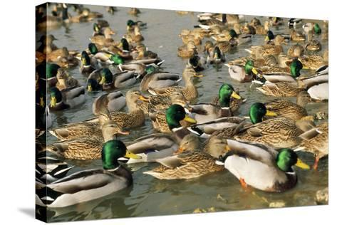 Mallard Duck Flock on Water--Stretched Canvas Print