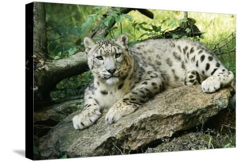 Snow Leopard--Stretched Canvas Print