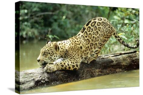 Jaguar Sub-Adult, Scratching Log--Stretched Canvas Print
