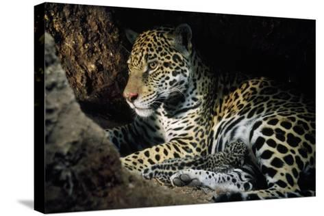 Jaguar Female, with 2 Day Old Cub in Forest Floor--Stretched Canvas Print