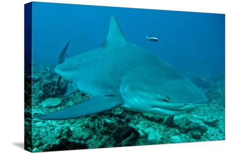 Bull Shark--Stretched Canvas Print