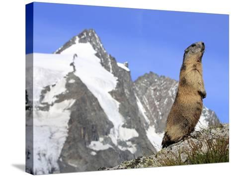 Alpine Marmot on Hind Legs--Stretched Canvas Print