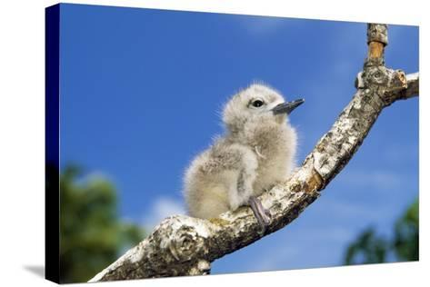 Fairy Tern Chick on Branch--Stretched Canvas Print