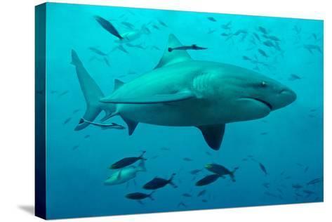 Bull Shark Female--Stretched Canvas Print