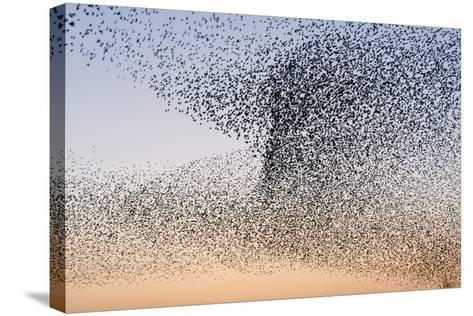 Common Starling Flock--Stretched Canvas Print