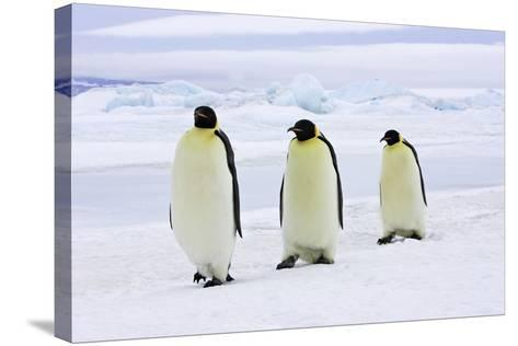 Emperor Penguin, Three Adults Walking across Ice--Stretched Canvas Print