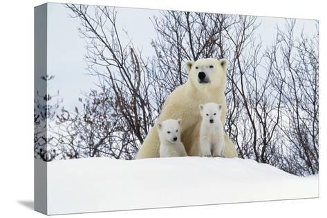 Polar Bear and Cubs X Two Sitting--Stretched Canvas Print