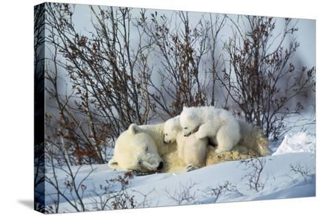 Polar Bear Adult Lying Down with Cubs, Both--Stretched Canvas Print
