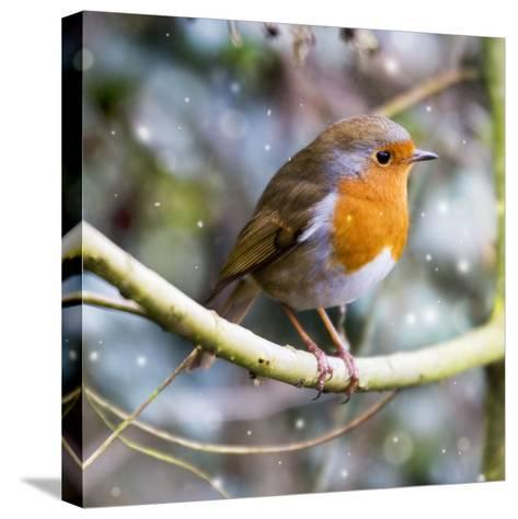 Robin Perched on Willow Branch Slimbridge--Stretched Canvas Print