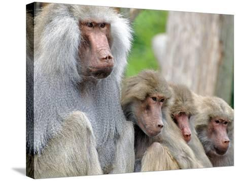 Sacred Baboon Male with His Harem--Stretched Canvas Print