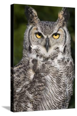 Montana Great Horned Owl Adult--Stretched Canvas Print