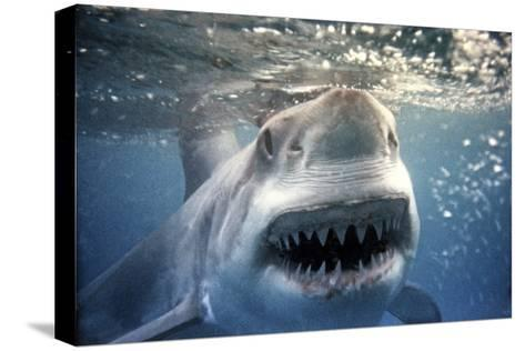 Great White Pointer Shark--Stretched Canvas Print