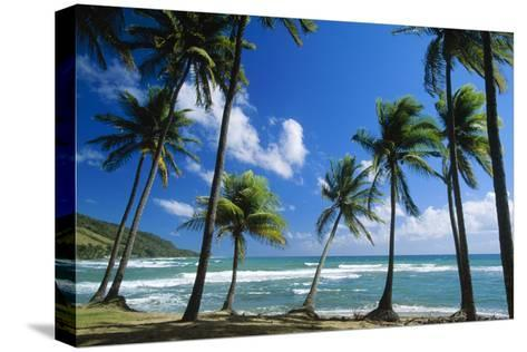 Coconut Palm Palm Trees Along Shoreline--Stretched Canvas Print