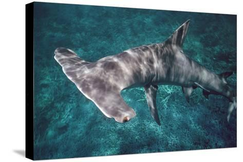Great Hammerhead Shark--Stretched Canvas Print