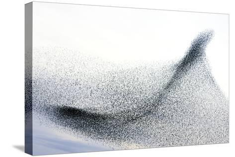 Starlings--Stretched Canvas Print