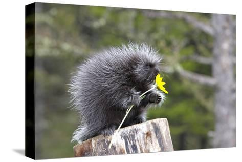North American Porcupine Baby Holding Yellow Flower--Stretched Canvas Print