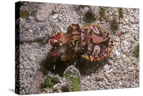 Flamboyant Cuttlefish Photographed in an Isolated--Stretched Canvas Print