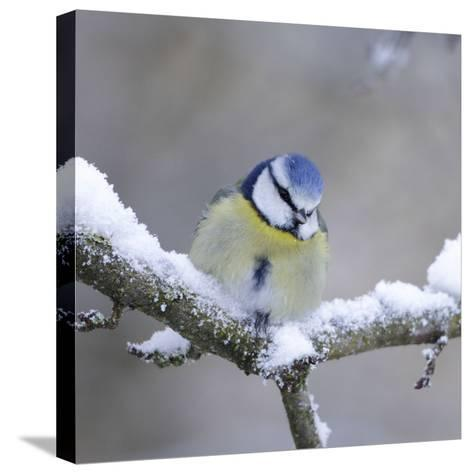 Blue Tit in Winter on Snowy Branch--Stretched Canvas Print