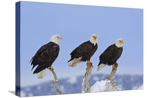 Bald Eagle Three--Stretched Canvas Print