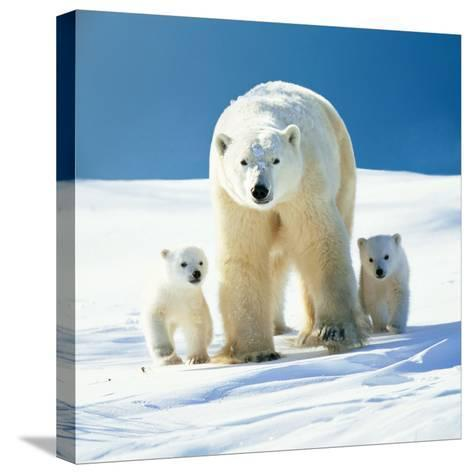 Polar Bear Parent with Cubs--Stretched Canvas Print