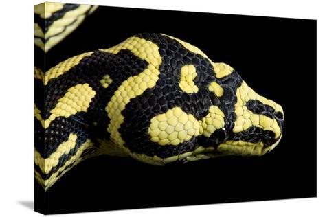 Jungle Carpet Python Head--Stretched Canvas Print